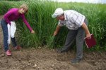 Figure 6. Switchgrass row spacing experiments in Yaltushka, Ukraine.